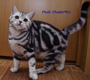 Британская кошка черный мрамор на серебре ns 22