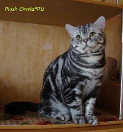 Британский кот черный мрамор на серебре ns 22