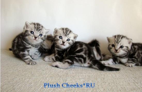 Продаются британские мраморные котята ns 22